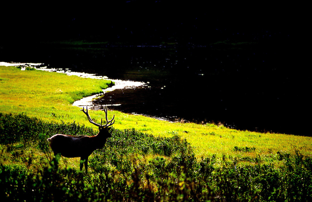 A bull elk feeds at the edge of a high mountain lake