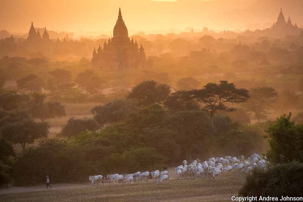 Goat hearders walk their flock at sunset past Bagan temples, Burma