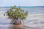 A red mangrove shrub establishes along the Sea of Abaco off Green Turtle Cay, Bahamas.