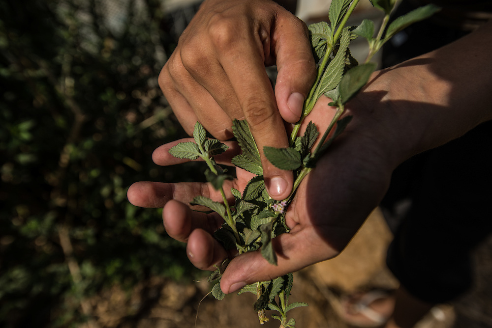 "CARACAS, VENEZUELA - MARCH 20, 2016: Yanny Trejo, 19, harvests Melissa offichina to show IRIN journalists how she makes natural, medicinal teas. Trejo began researching herbal medicine out of frustration that she could rarely find the medicines doctors prescribed for her children in local pharmacies. Now she grows medicinal plants, such as chinchamochina, Melissa officinalis, sabila, and aloe in the garden outside her shack and says she has used them to treat her daughter's chikungunya, scabies, colds and respiratory infections. ""It's like raising children 50 years ago, with home-made medicines and remedies,"" she said.  PHOTO: Meridith Kohut for IRIN News"