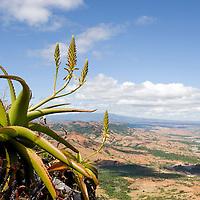 Aloe suarezensis situé à Windsor Castle près de Diego Suarez, Madagascar