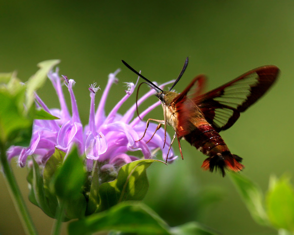 A strange looking hummingbird moth at some flowers at the Shakespeare Gardens. Looks like a flying lobster!