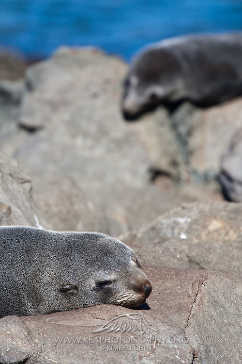 New Zealand Fur Seal, Moeraki