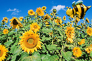 Alaska. Fairbanks. Field of sunflowers with bee garden ornament. Summer