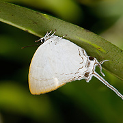The Common Imperial (Cheritra freja) is a small butterfly found in Asia that belongs to the gossamer-winged butterflies family (Lycaenidae).