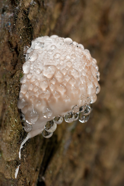 Fomitopsis pinicole with drops on tree trunk
