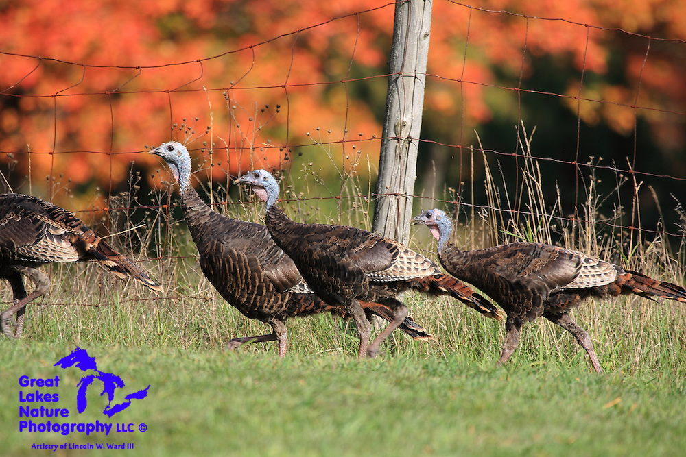Wild turkeys stroll along a fence row in a Wexford County meadow near Mesick, Michigan.