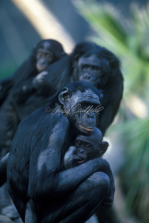 bonobo (pygmy chimpanzee) family (captive).(Pan paniscus).Found in rainforests of Zaire and Congo