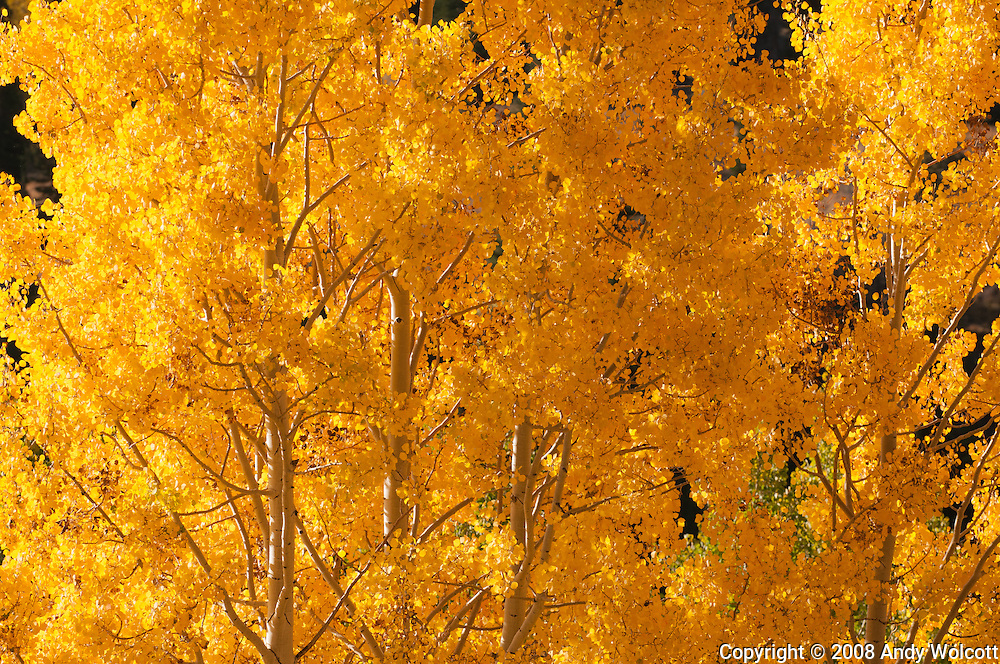 Fall Aspen colors at Guardsman's Pass near Park City, Utah