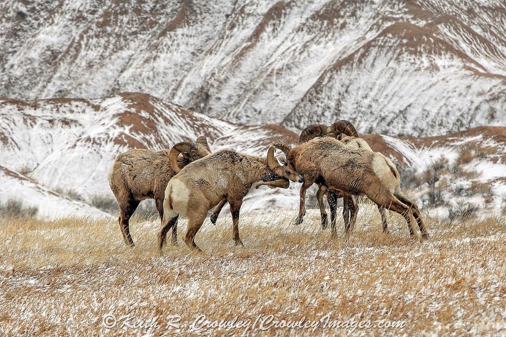 Bighorn Sheep in Habitat