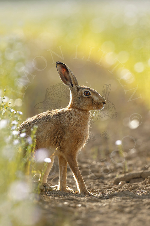 European Hare (Lepus europaeus) adult in track through flowering linseed crop, South Norfolk, UK. July.