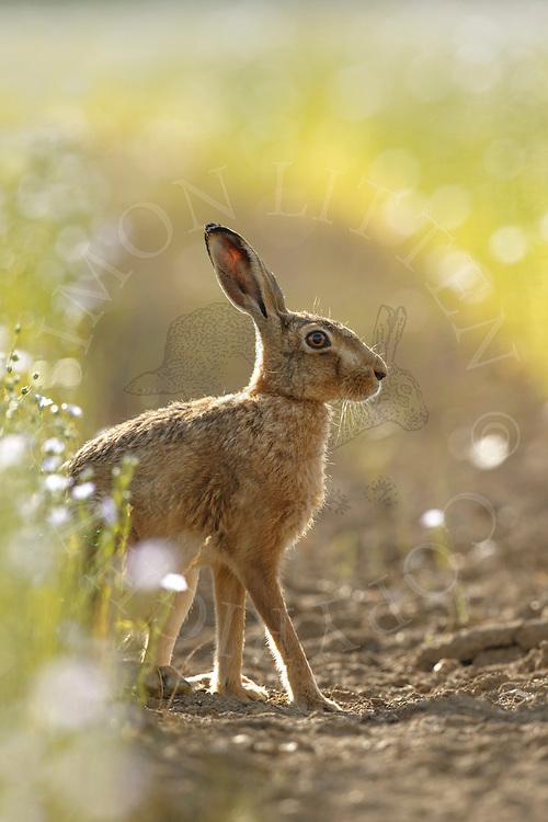 European Hare (Lepus europaeus) adult in track through flowering linseed crop, South Norfolk, UK. July.