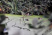 Nederland, Ubbergen, 23-9-2014Wilde eenden zwemen in een met groen kroos bedekte waterplas. Er zit een mooi gekleurde mandarijneend bij. De mandarijneend is een trekvogel, de wilde eend is een standvogel.Foto: Flip Franssen/Hollandse Hoogte