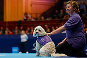 Hattie the balldog with her handler.<br /> Ball dogs step onto the court at the Royal Albert Hall for the first time in UK history during this year's Champions Tennis event in association with Skinner's Pet Food, with dogs provided by Canine Partners. <br /> During the Champions Tennis match at the Royal Albert Hall, London, United Kingdom on 6 December 2018. Picture by Ian Stephen.