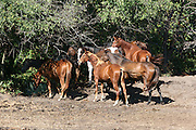 A herd of Quarterhorses taking advantage of tree shade in the heat of the day.