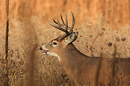 Whitetail buck in grassland habitat