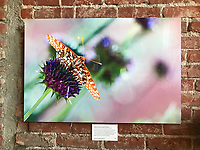 "30""x20"" Dye-sublimation aluminum super glossy (Chalcedon Checkerspot on chia) at Bareburger, Santa Monica, CA, USA, on 20-Oct-17"