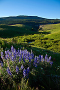 Lupine Wildflowers Blooming in Backcountry, White River, National Forest, Colorado