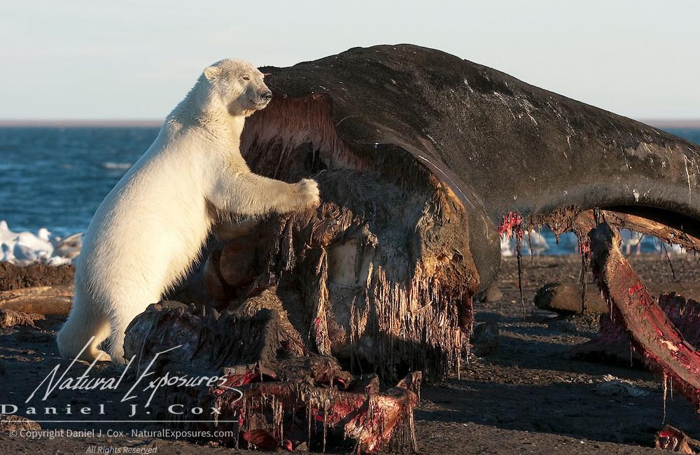 Polar Bear feeding on a carcass of a Bowhead Whale.(Balaena mysticetus). Kaktovik, Alaska