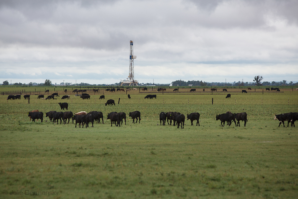 Cattle grazing next to an active drilling rig at a frack site in Woods County Oklahoma in the Northwestern part of the state where the fracking industry is booming.