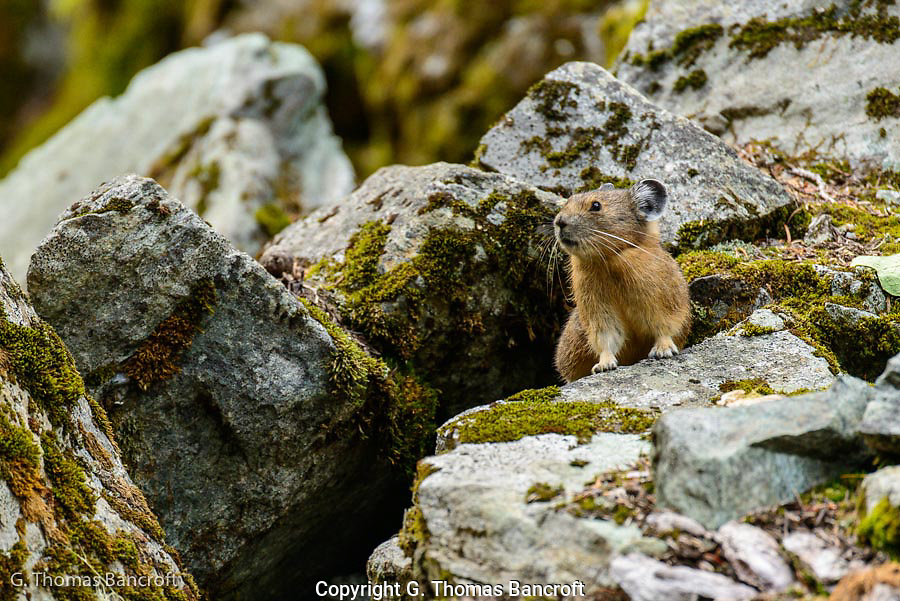 Pika popped out of its burrow under a boulder and gave its alarm call as I approached.  It then froze for several minutes waiting to see if I was a threat.