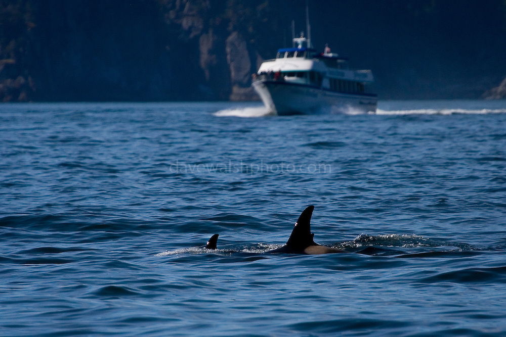 Mother and calf - orcas, or Killer whales, in Kenai Fjords National Park, with whale watching vessel approaching..