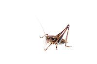 IFTE-NB-007474; Niall Benvie; Pholidoptera griseoaptera; Austria; grasshopper; Europe; Tirol; Fliesser Sonnenhänge; insect arthropod invertebrate; horizontal; high key; brown white; controlled; one; grassland upland meadow; 2008; July; summer; strobe backlight; Wild Wonders of Europe Naturpark Kaunergrat