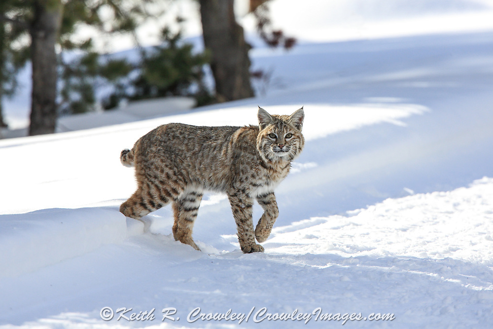 A bobcat steps oout onto a winter road in Yellowstone National Park