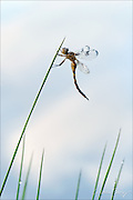 Newly emerged dragonfly at a pond's edge.  The sky and clouds are reflected off the water