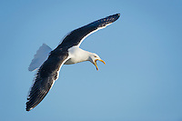 Kelp Gull calling while in flight, De Hoop Nature Reserve and marine protected area, Western Cape, South Africa