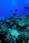 Green Sea Turtle & Divers - Grand Cayman B.W.I.