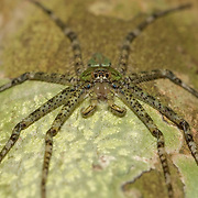 Forest Huntsman (Sparassidae) spider in Kaeng Krachan National Park, Thailand.