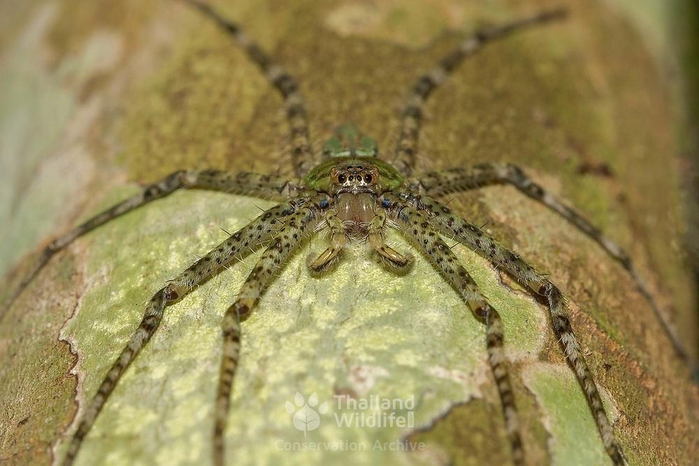 Forest Huntsman (Sparassidae) spider in Kaeng Krachan National Park, Thailand.