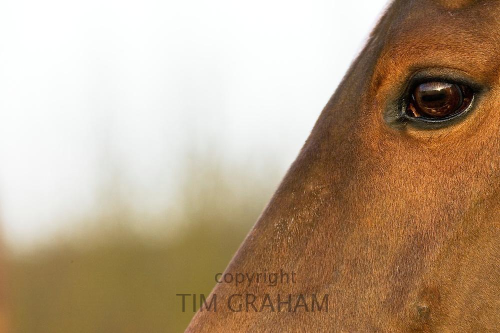Horse, Oxfordshire, UK.