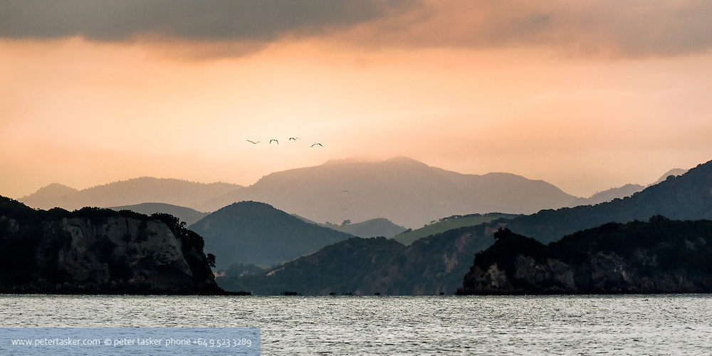 Gannets on early morning flight, along coastal islands, Coromandel Peninsula, Hauraki Gulf, New Zealand.
