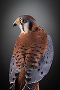 American Kestrel (Falco sparverius). Bob came to the ORC in 2005 as an imprint (hand raised by people). Imprinting is when birds do not recognize their own species or predators, cannot hunt, and think humans are their species. Bob landed on a person in Ventura when he could not find food.