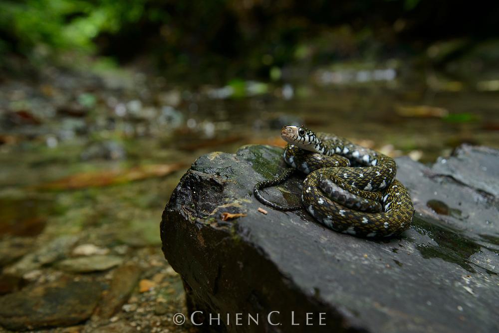 Sabah Keelback (Hebius flavifrons). Previously White-fronted Water Snake (Amphiesma flavifrons).