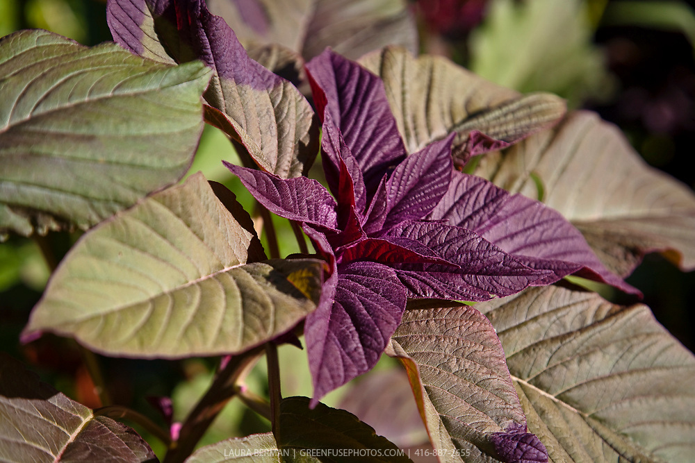 Red and green  leaf Amaranth (Amaranthus tricolor)
