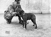 """19/07/1952<br /> 07/19/1952<br /> 19 July 1952<br /> Dog show: All Breed Championship, 10th Annual Show of the Combined Canine Clubs at Terenure College,<br /> Templeogue Road Terenure Dublin. Mr L. Murray, Schoolhouse, Cumberland Street , Dun Laohaire, with his Staffordshire bull terrier """"Yekcim"""" winner of Novice and Graduate Class."""
