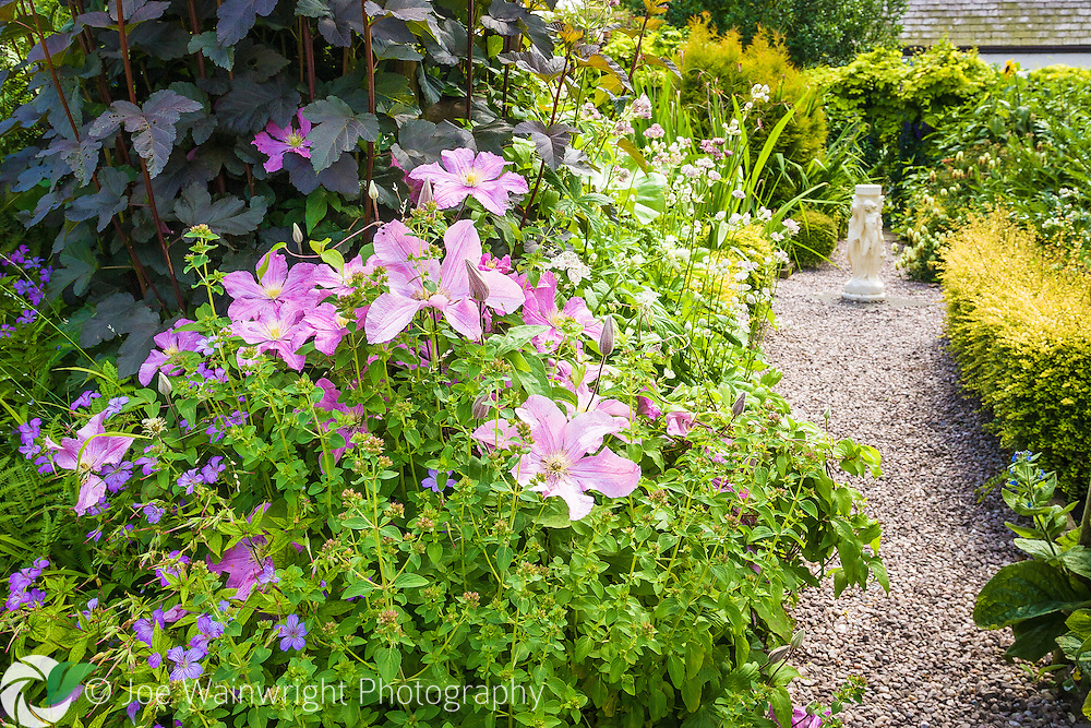 A clematis scrambles through herbaceous perennials at Bluebell Cottage Gardens, Cheshire - photographed in July.