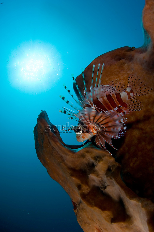 Zebra Lionfish, Pterois antennata, KBR, Lembeh Strait, Sulawesi, Indonesia.