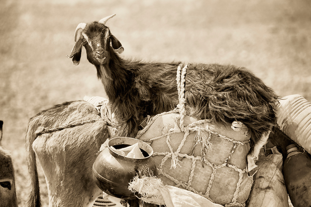 Goat riding on a donkey.
