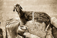 Goat riding on a donkey.
