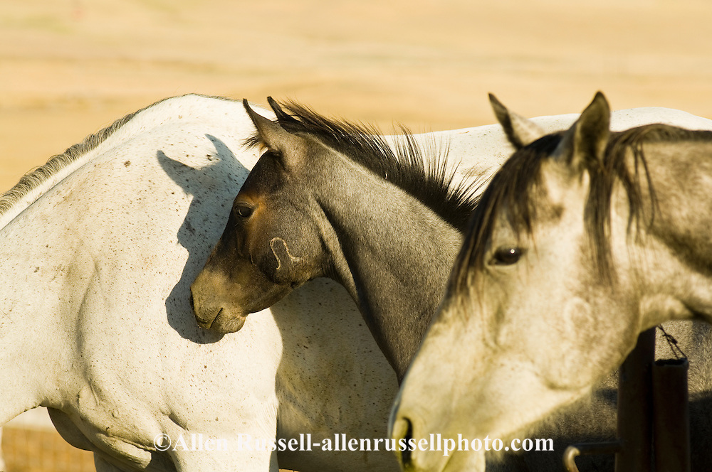 Gray Quarter Horse mare and foal at Leachman Hairpin Cavvy horse sale southeast of Billings Montana, Hairpin brand on cheek