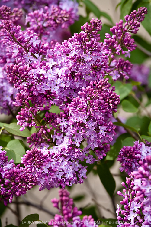 Fragrant lilac flowers, a favorite, old-fashioned shrub known for their distinctive fragrance and early spring bloom. (Syringa var.)