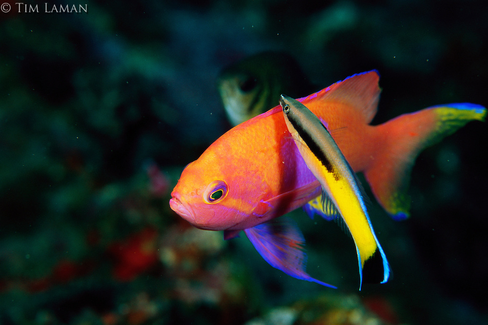 A squarespot anthias male being cleaned by a Labroides cleaner wrasse