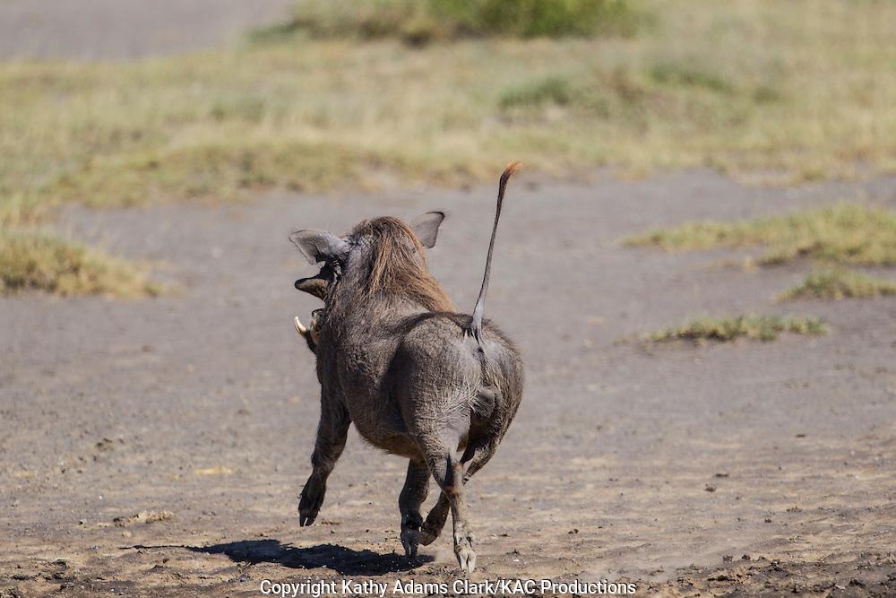 Warthog, Phacochoerus africanus, running away, tail in the air, near Ndutu, in the Ngorongoro Conservation Area, Tanzania, Africa.