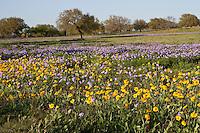Prairie Verbena and Huisache Daisy, Medina County, Texas.