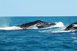 A pod of humpback whale bulls on the move near Wilson Point in Camden Sound.