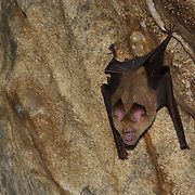 Roundleaf Bat, Hipposideros sp., Hipposideros is a one of the most diverse genera of bats with more than 70 species. They are collectively called roundleaf bats after the shape of their nasal ornament. It is the type genus of the family Hipposideridae.